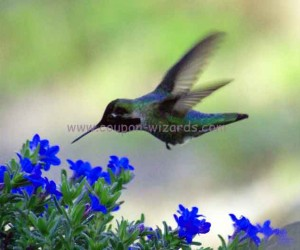 hummingbird_blueflower